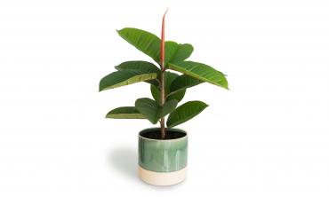 Plante artificielle - Ficus Elastica